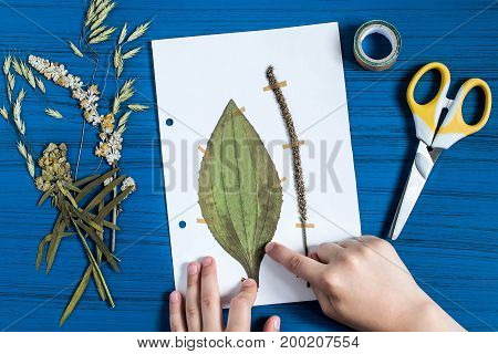 Girl makes herbarium of medicinal plants. Dry plant of plantain (Plantago major) is attached to piece of paper. Concept of education and alternative medicine