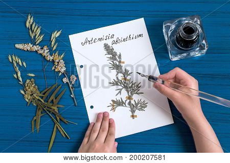 Girl makes herbarium of medicinal plants. Girl writes latin name on sheet with dry plant of wormwood (Artemisia absinthium). An old pen with ink is used. Concept of education and alternative medicine