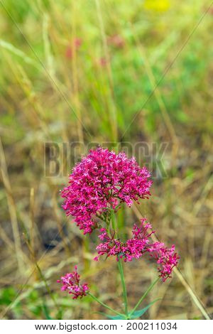 Budding flowering and overblown red valerian or Centranthus ruber plants growing on the of a Dutch embankment. It is in the beginning of the summer season.