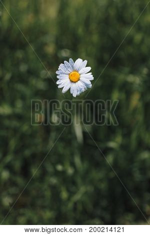 Chamomile or camomile flowers in the garden