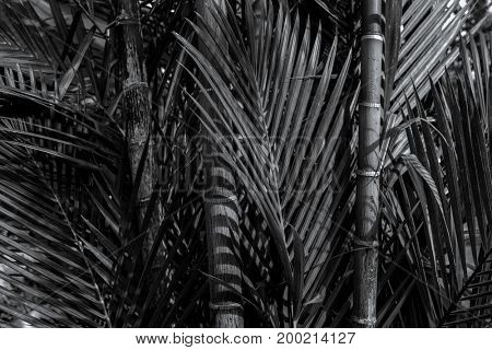 Bamboo tree close up in black and white