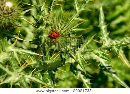 Wild thistle with small ladybug amidst the thorns