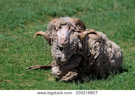 In the meadow lying bighorn wooly ram