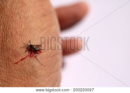 Mosquito sucking blood on skin in white background.
