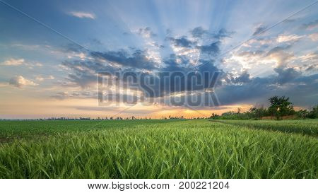 young wheat field / the dawn rising on a green field of wheat