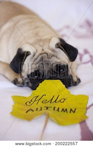 Sad pug looking to the autumn yellow leaf