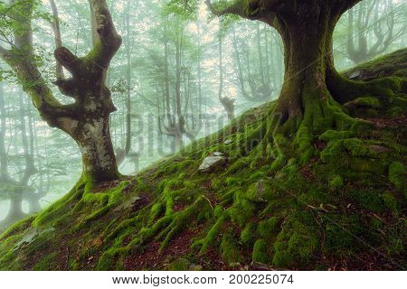 Beech roots in a foggy day in Spain