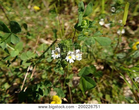 Flowers of the Eyebright , (Euphrasia rostkoviana)