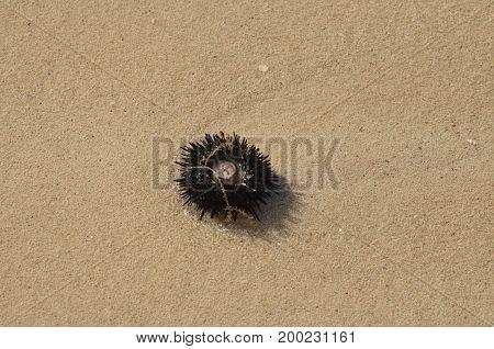 Sea urchin washed ashore on the beach in Aruba.