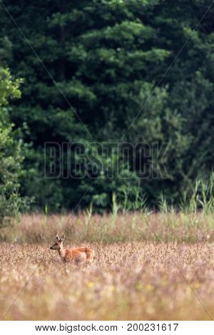 Roe Deer Doe Standing In Field. Profile View.