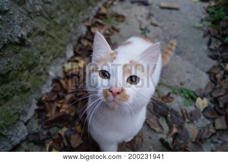 Small white with red spots smooth-haired cat