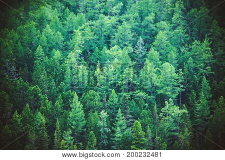 Fir Forest View From Above