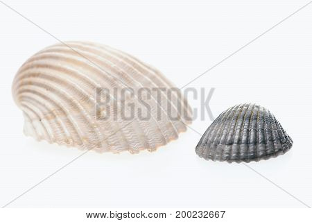 Clam Mollusk Shells Isolated On White