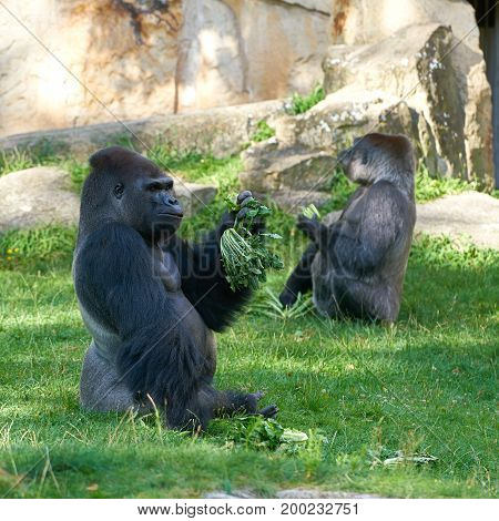 two Gorillas during feeding in a zoo