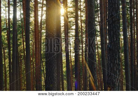 beautiful rays of dawn in pine forest with vignette on 50 mm focal length