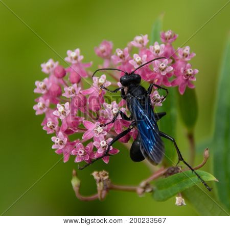 A Great Black Wasp (Sphex pensylvanicus) feeding on the blossoms of a milkweed plant in Taneytown, Carroll County, Maryland, USA.