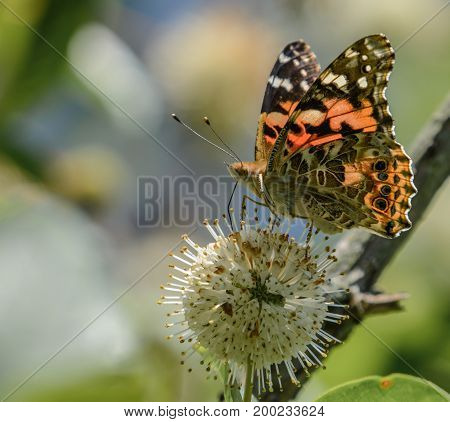 A Painted Lady (Vanessa virginiensis) butterfly, feeding on the nectar of a Buttonbush in Chocorua, New Hampshire, USA.