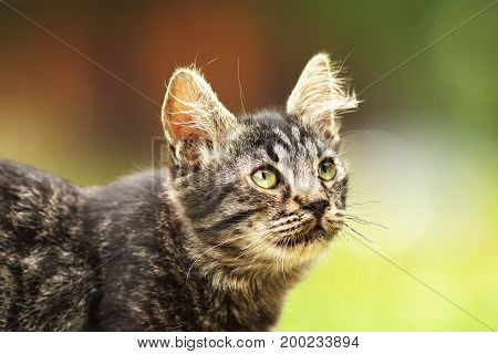 cute fluffy young kitten close up over out of focus background curious animal portrait looking up