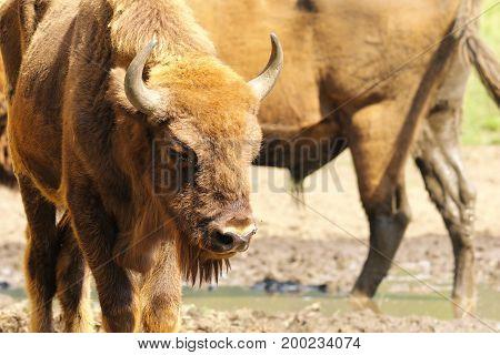 european bison close up ( Bison bonasus )