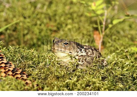 female european common toad standing on green moss ( Bufo ); this is a toxic specie
