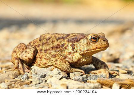 european common brown toad on the ground ( Bufo ); this is one of the toxic european toads