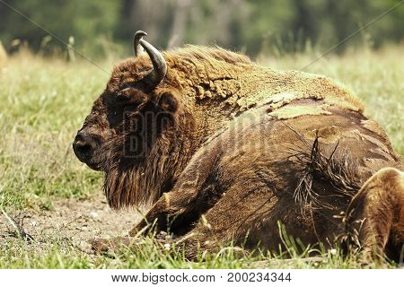 large european bison ( Bison bonasus ) resting on meadow