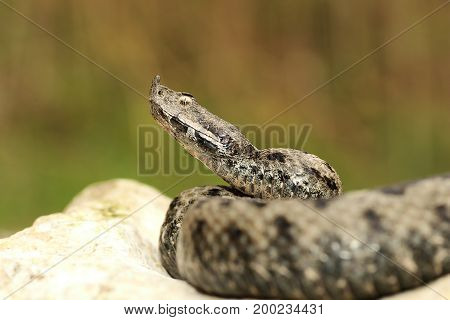 male venomous european snake in natural habitat ( Vipera ammodytes or the nose horned adder )