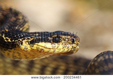 portrait of beautiful european snake ( blotched snake Elaphe sauromates )