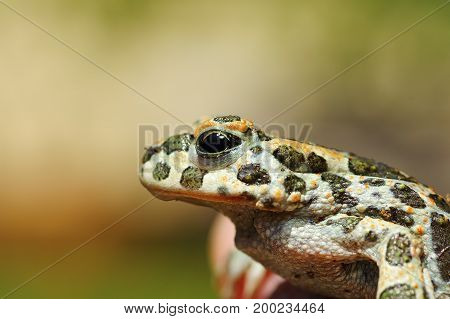 portrait of cute common green toad ( Bufotes viridis )