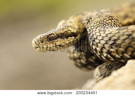 portrait of meadow viper in natural habitat macro image on venomous snake ( Vipera ursinii rakosiensis listed as endangered in IUNC red list )