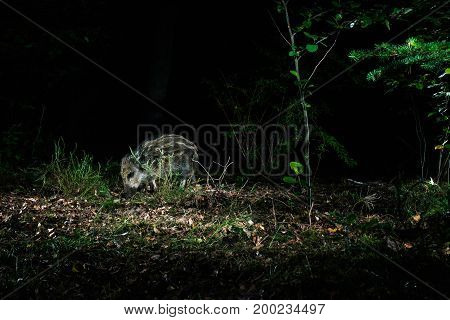 Young Wild Boar Feeding Forest At Night. Caught By Camera Trap.