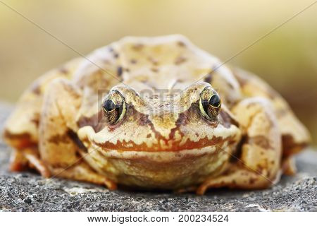 Rana temporaria portrait abstract view of european common brown frog