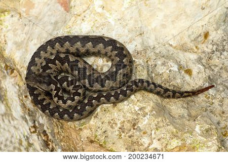 toxic european snake on stone ( Vipera ammodytes or the nose horned viper the most dangerous reptile from Europe )
