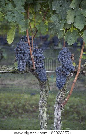 Purple/Blue Wine Grapes Growing Along Fence in Vineyard