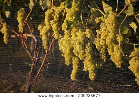 Yellow Wine Grapes Growing Along Fence in Vineyard