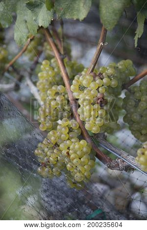 Green Wine Grapes Growing Along Fence in Vineyard