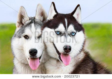 Couple Of Siberian husky sled dogs