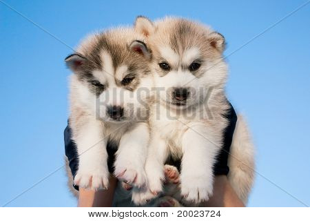 couple of grey Siberian Husky Puppies