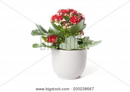 Red kalanchoe in flower pot isolated on white background