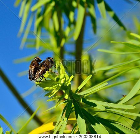Bees in mating process on leaves of euphorbia