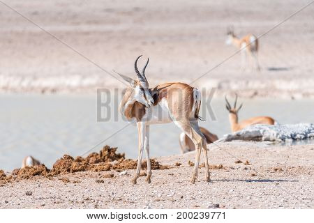 A springbok Antidorcas marsupialis looking back with teeth visible at a waterhole in Northern Namibia