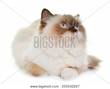 english longhair cat in front of white background