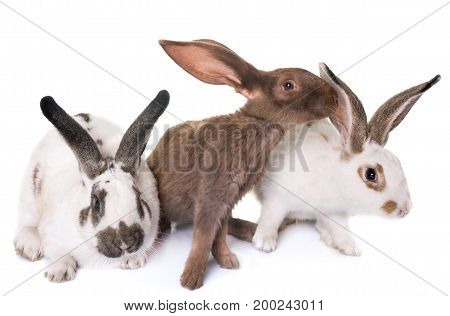 Checkered Giant rabbits in front of white background