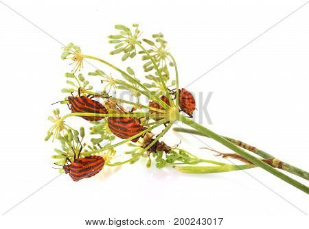 Graphosoma lineatum in front of white background