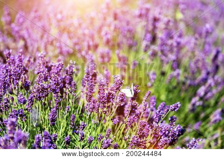 White butterfly sitting on lavender flower. Warm sunlight, nature background