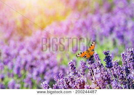 Butterfly sitting on lavender flower. Warm sunlight, nature background