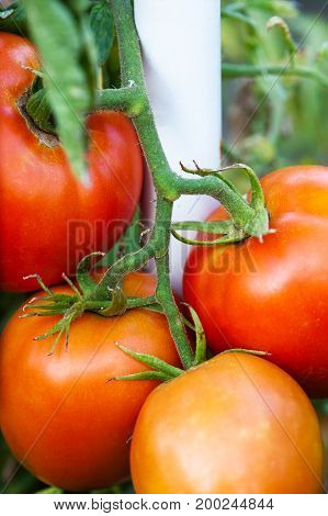 Tomato on a branch close-up on a nature background