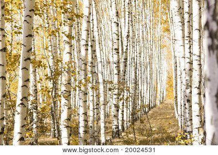 Yellow  Birches