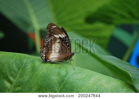 A brown butterfly also known as the Varied Eggfly Butterfly (Hypolimnas bolina)