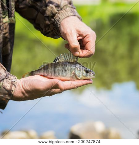 Close-up of Bright perch with a torn off hook on the line in palms fisherman. Concept fortune, finance, investment, success, active rest, ecology. Square